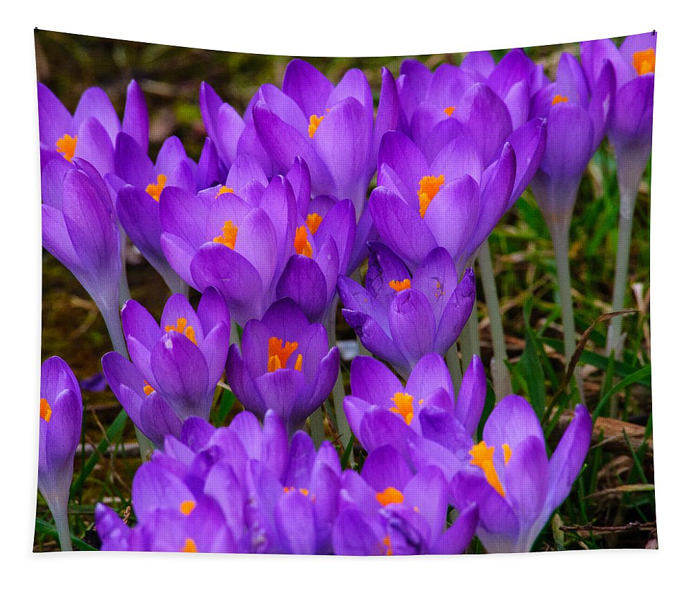 Crocus Tapestry featuring the photograph Backyard Crocus by Tikvah's Hope