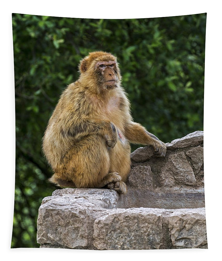 Barbary Macaque Tapestry featuring the photograph Barbary Macaque by Arterra Picture Library
