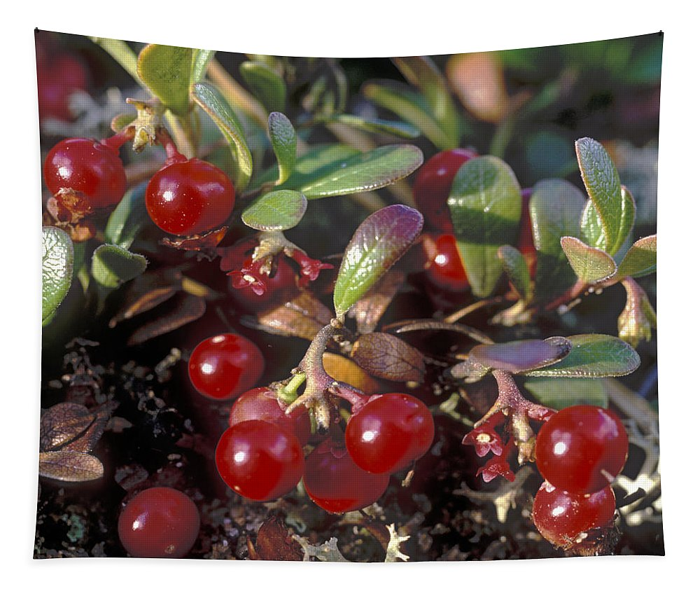 Bacca; Bearberry; Berries; Close-up; Close-up View; Flora; Fruits; Nature; Plant World; Plants Tapestry featuring the photograph Berries by Anonymous