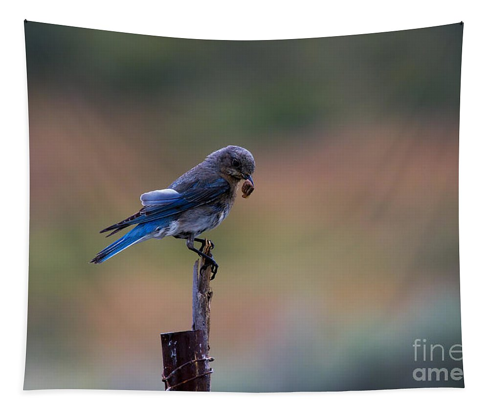 Mountain Bluebird Tapestry featuring the photograph Bluebird Lunch by Mike Dawson