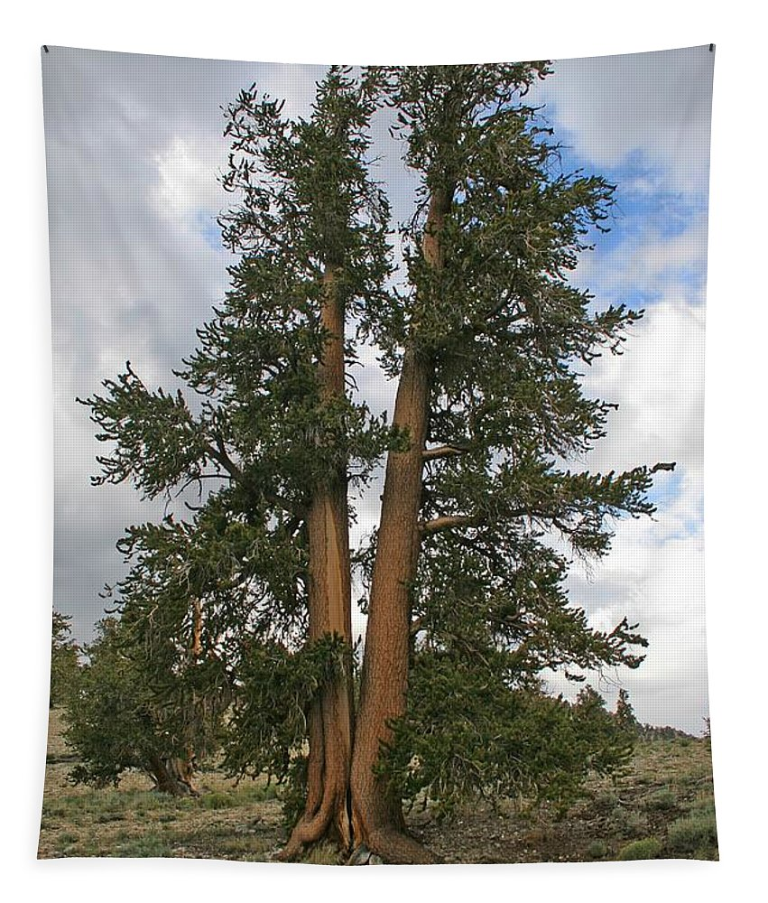 Brisslecone Pine Tree Tapestry featuring the photograph Brisslecone Pine Tree by Tom Janca