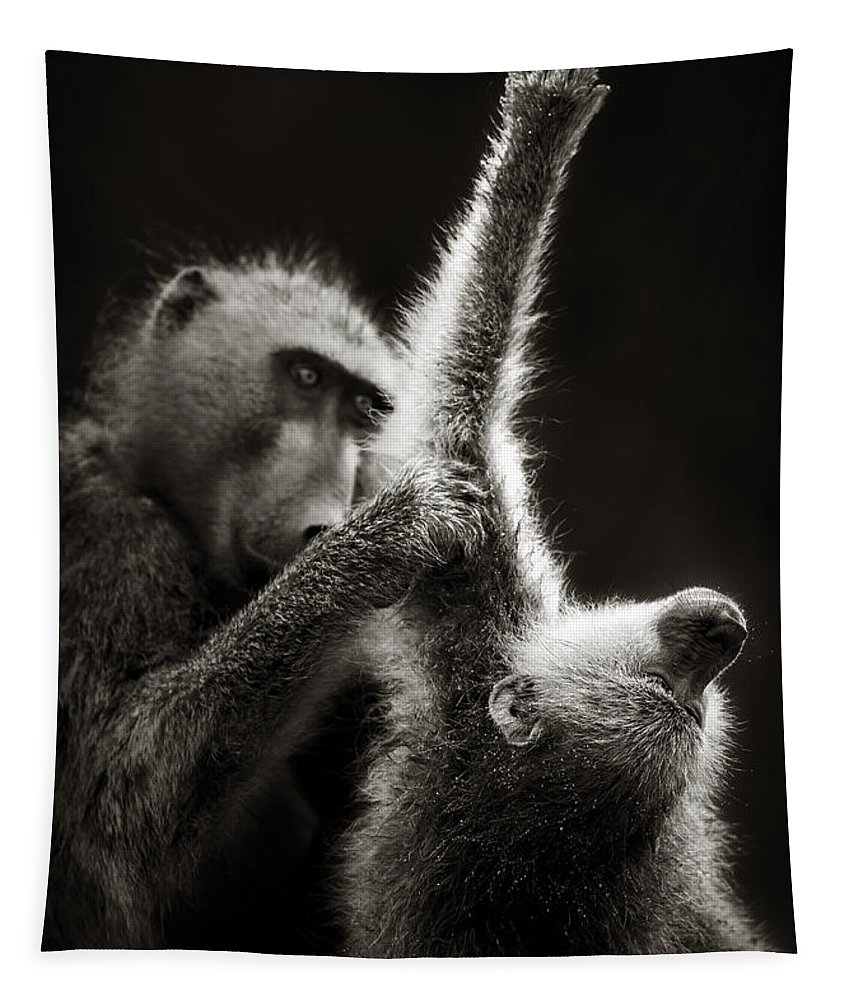 Baboon; Groom; Interact; Clean; Touch; Chacma; Art; Artistic; Monochrome; Black; White; B&w; Wild; Wildlife; Mammal; Animal; Outdoor; Nature; Africa; Two; Nobody; Safari; Wilderness; Behavior; Care Tapestry featuring the photograph Chacma Baboons Grooming by Johan Swanepoel