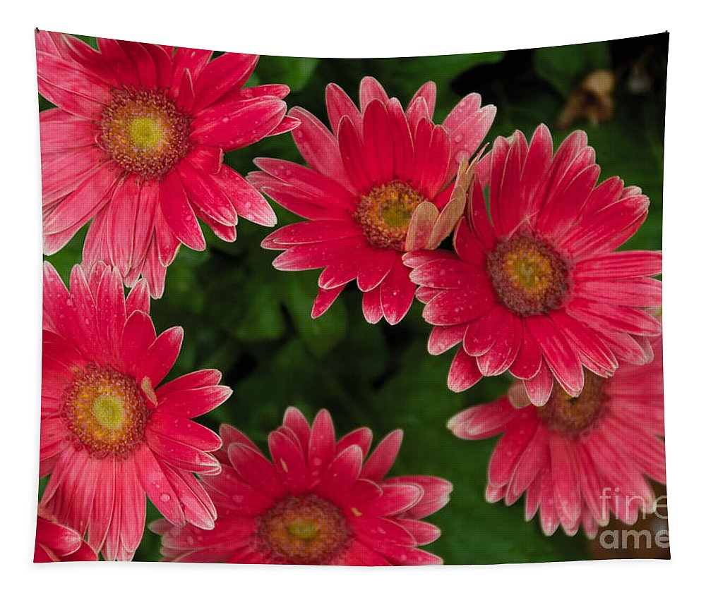 Pink Tapestry featuring the photograph Gerber Daisies Cluster by William Norton
