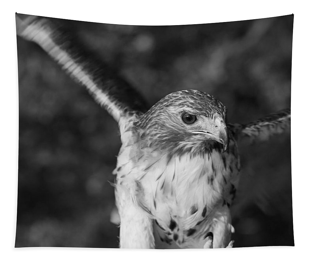 Hawk Attack Black And White Tapestry featuring the photograph Hawk Attack Black And White by Dan Sproul