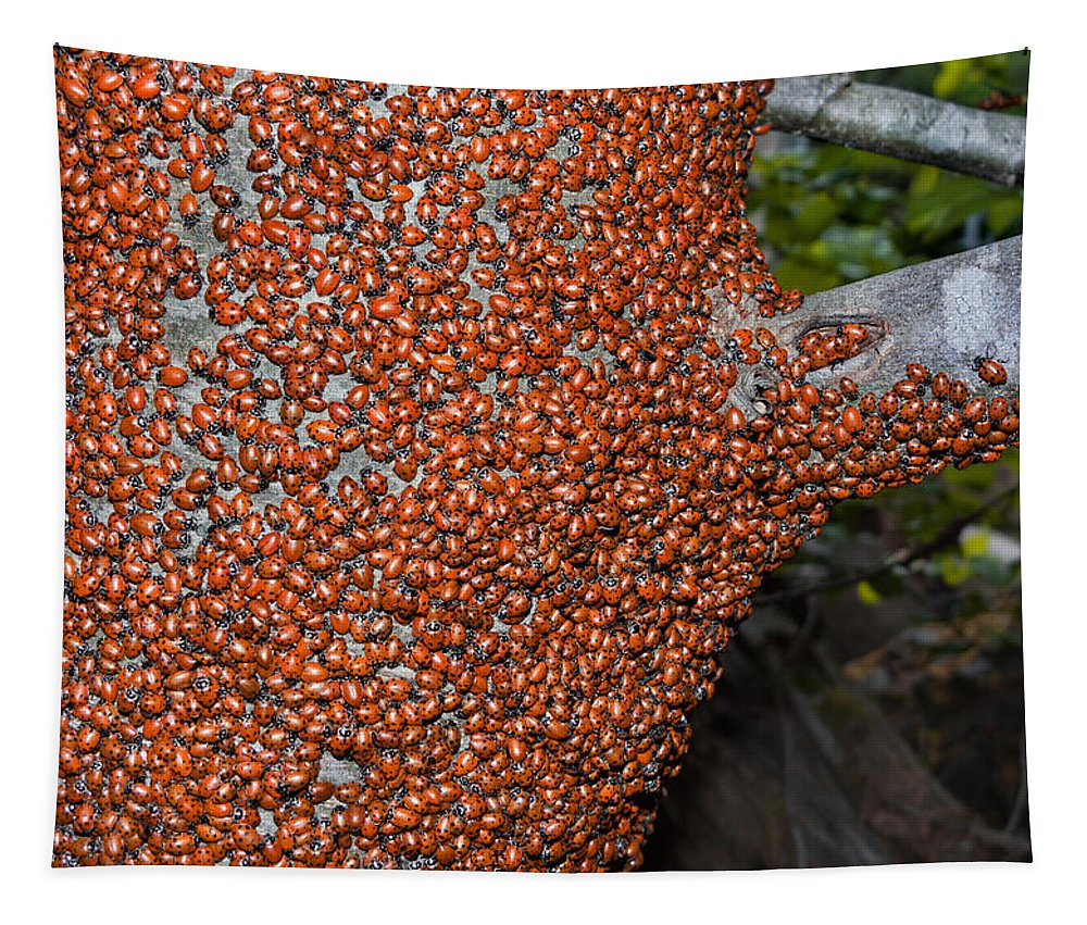 Hippodamia Convergens Tapestry featuring the photograph Ladybug Tree by Kathleen Bishop