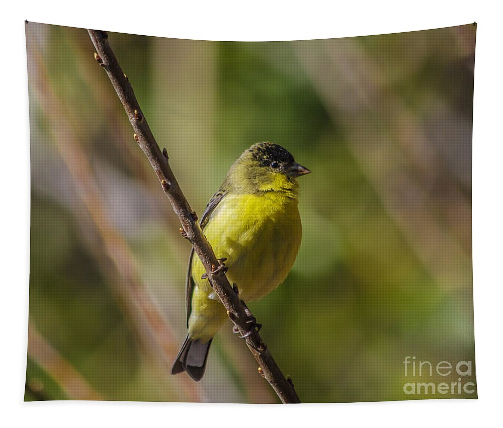 Male Lesser Goldfinch Tapestry featuring the photograph Male Lesser Goldfinch by Mitch Shindelbower