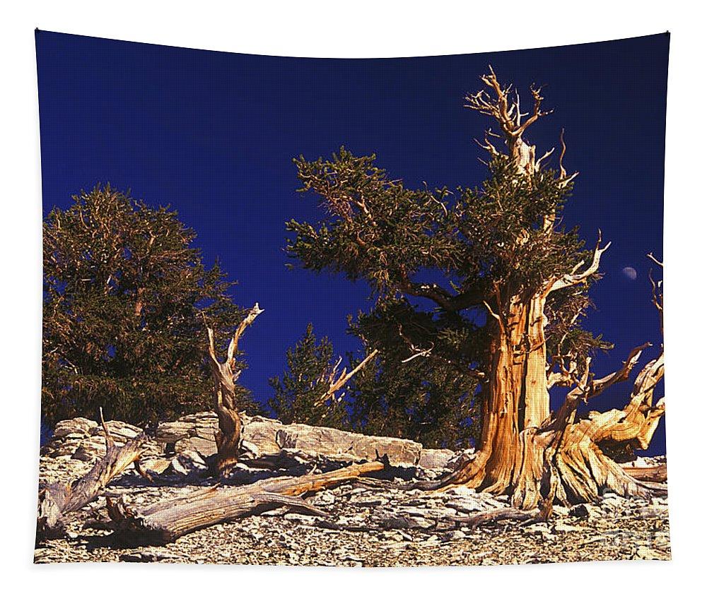 Bristlecone Tapestry featuring the photograph Moon And Bristlecone Pines by Paul W Faust - Impressions of Light
