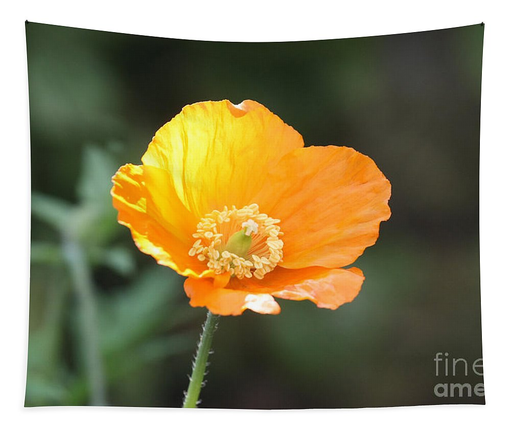 Orange Poppy Tapestry featuring the photograph Orange Welsh Poppy by Terri Waters