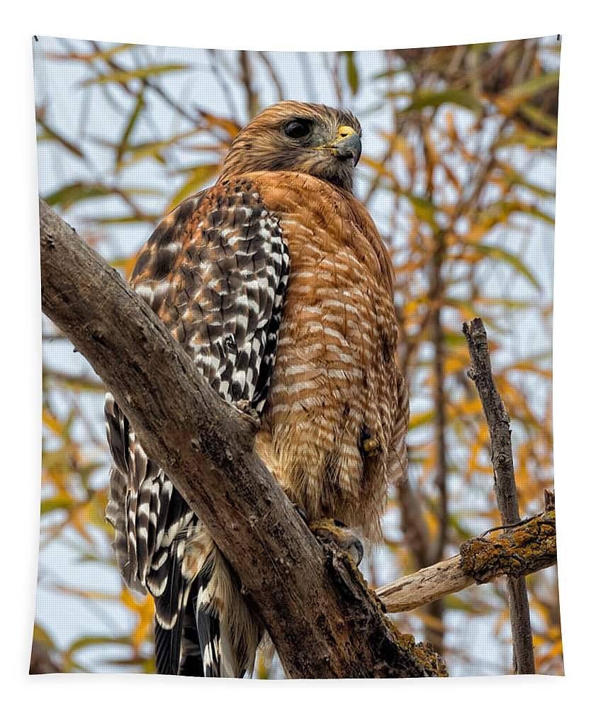 Buteo Lineatus Tapestry featuring the photograph Red-shouldered Hawk In A Willow Tree by Kathleen Bishop