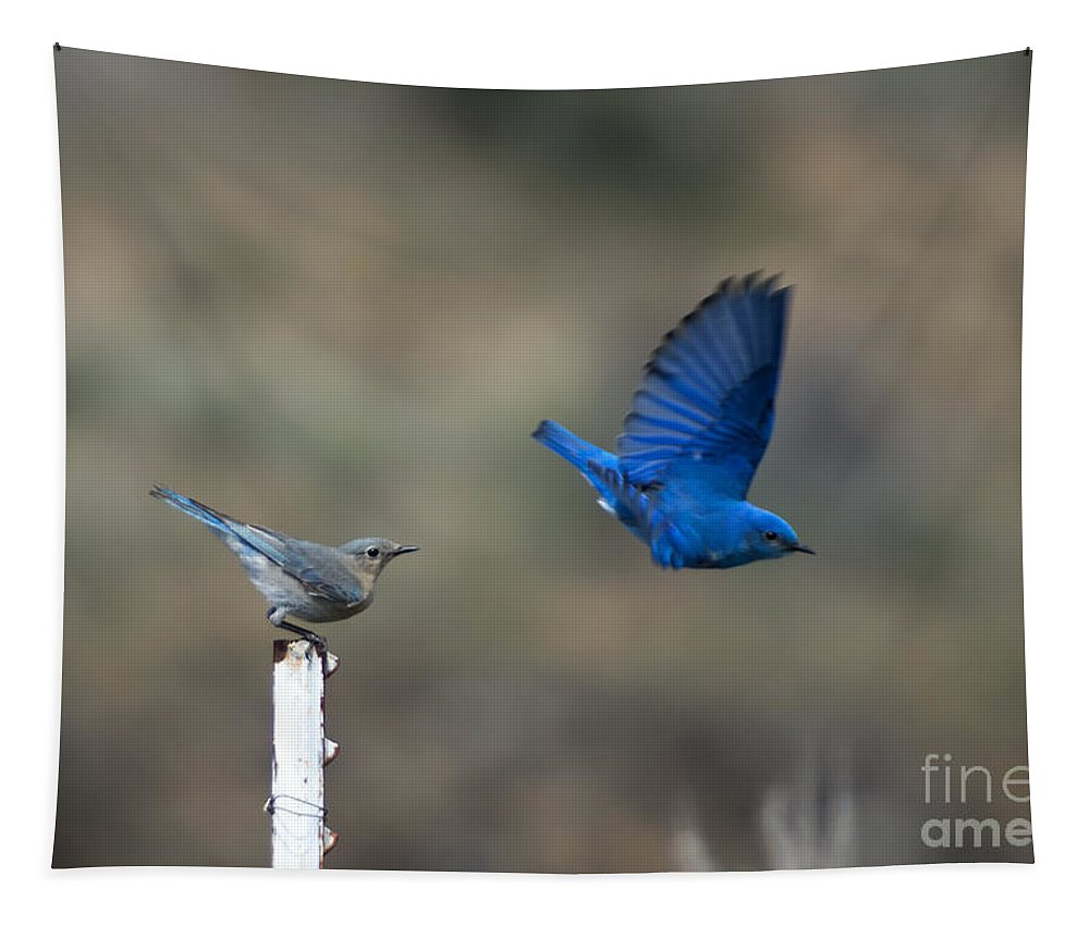 Mountain Bluebird Tapestry featuring the photograph Showing Off by Mike Dawson