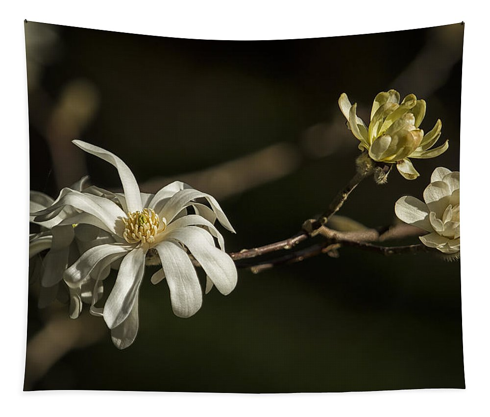 Star Magnolia Tapestry featuring the photograph Star Magnolia Blossoms by Belinda Greb