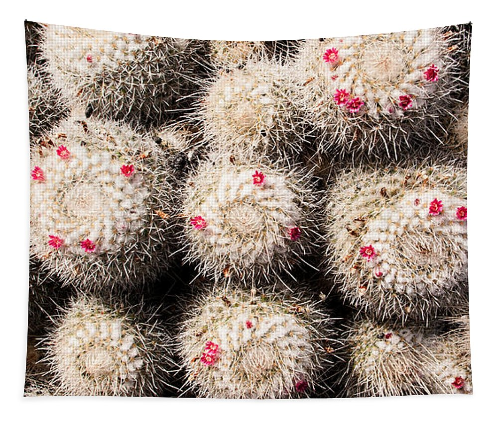 Twin Spined Cactus Tapestry featuring the photograph White Cactus Pink Flowers No1 by Weston Westmoreland