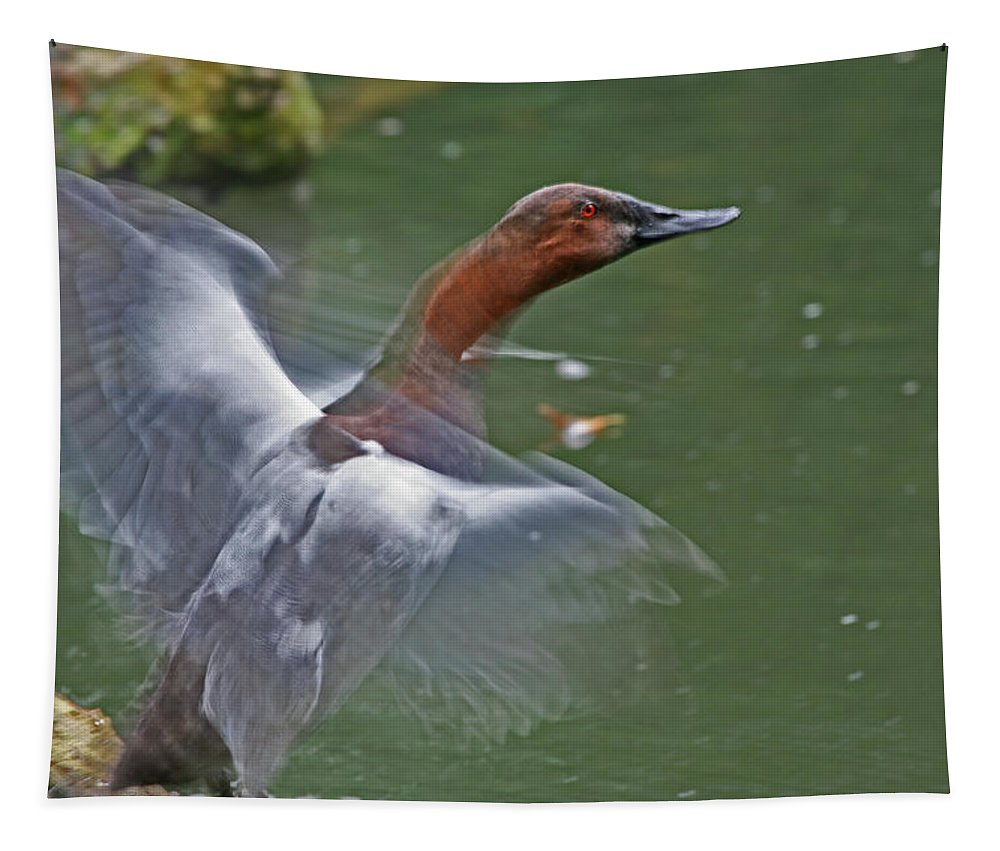 Canvasback Tapestry featuring the photograph Canvasback In Action by Karol Livote