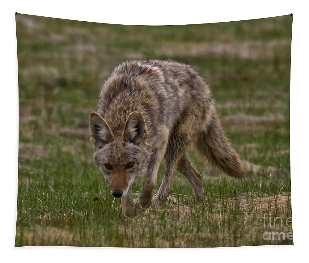 Coyote Tapestry featuring the photograph Catching The Scent by Mitch Shindelbower