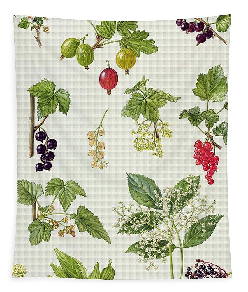 Worcesterberry; Elderberry; Black; White; Red; Cornelian Cherry; Elderflower; Fruit; Leaves; Botanical; Carnelian; Berries; Flower Tapestry featuring the painting Currants And Berries by Elizabeth Rice