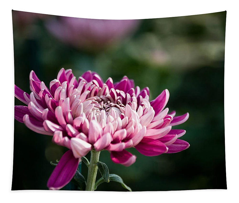 Pink Tapestry featuring the photograph Destiny's Dahlia by Trish Tritz