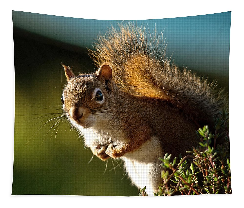 Squirrel Tapestry featuring the photograph Little Red by Susan Capuano