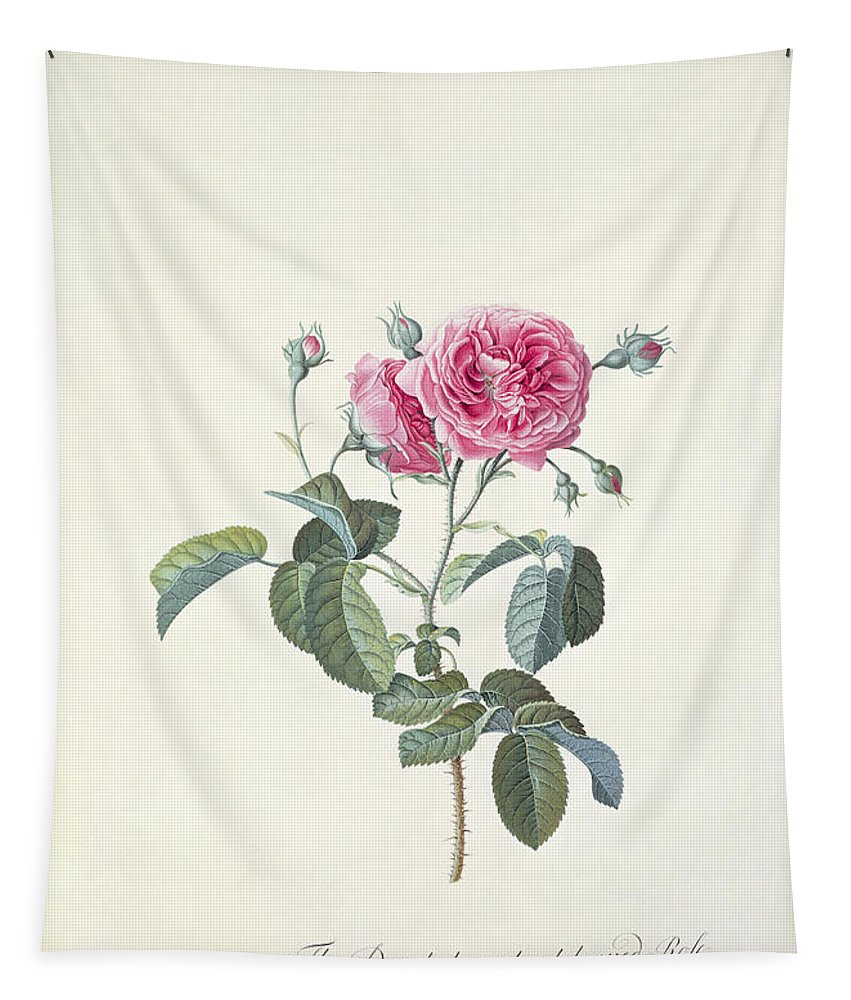 Red; Flower Tapestry featuring the painting Rose Dutch Hundred Leaved Rose by Georg Dionysius Ehret
