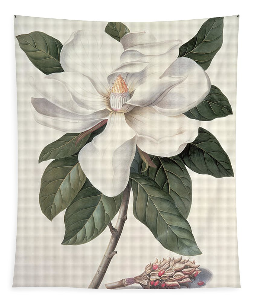 Plant; Flower Tapestry featuring the painting Magnolia by Georg Dionysius Ehret