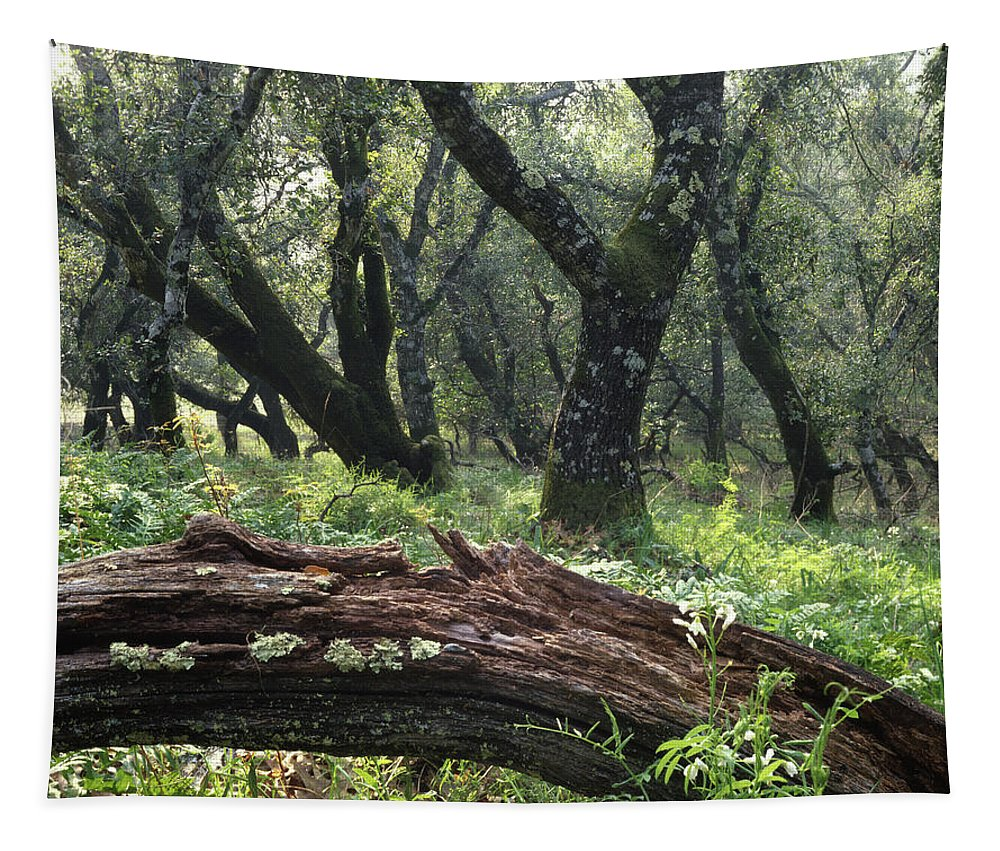 Forest Tapestry featuring the photograph 1b6338 Oak Forest On Sonoma Mountain Ca by Ed Cooper Photography