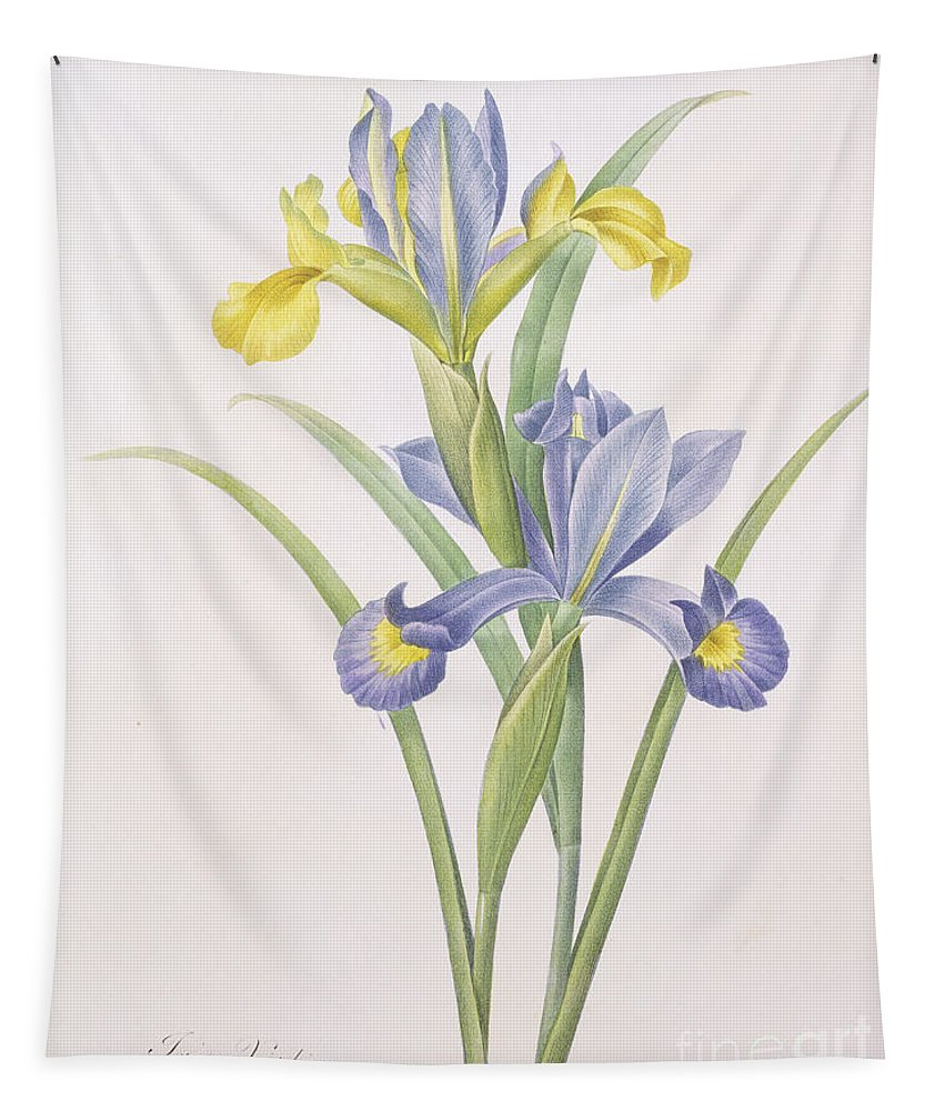 Iris Tapestry featuring the drawing Iris Xiphium by Pierre Joseph Redoute