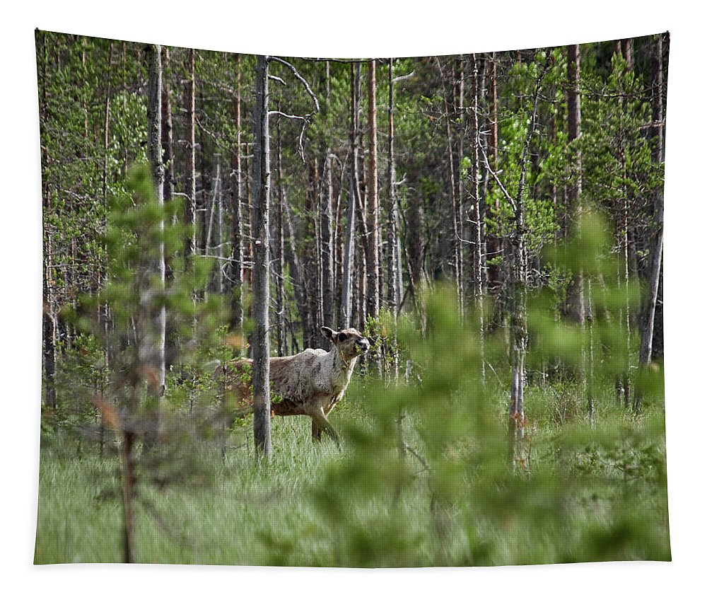 Finland Tapestry featuring the photograph Rare And Wild. Finnish Forest Reindeer by Jouko Lehto