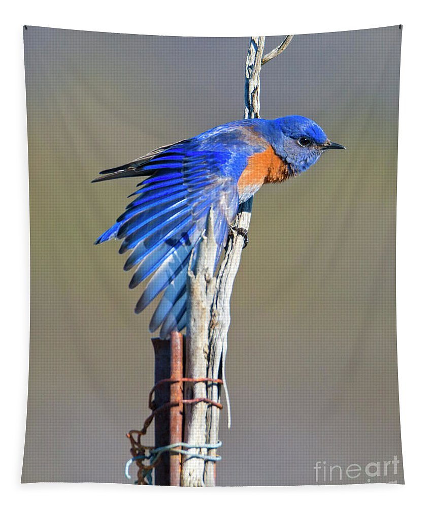 Western Bluebird Tapestry featuring the photograph Spread The Wings by Mike Dawson