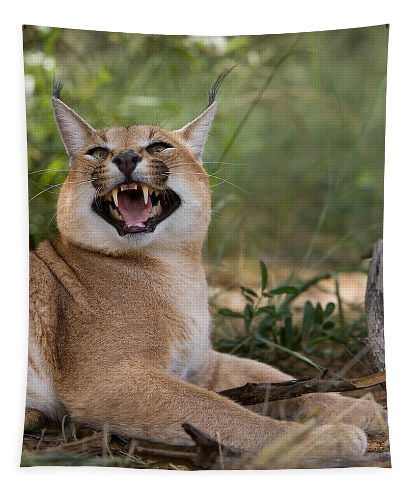 Africa Tapestry featuring the photograph Caracal Caracal Caracal by Gerard Lacz