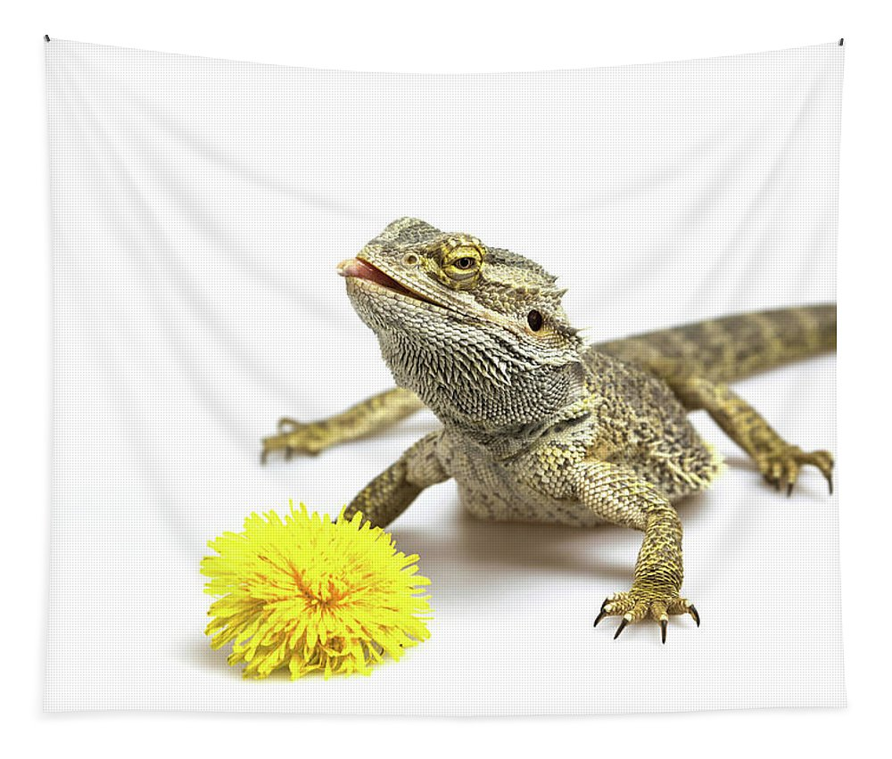 Lizard Tapestry featuring the photograph Agama And Dandelion by Jaroslav Frank