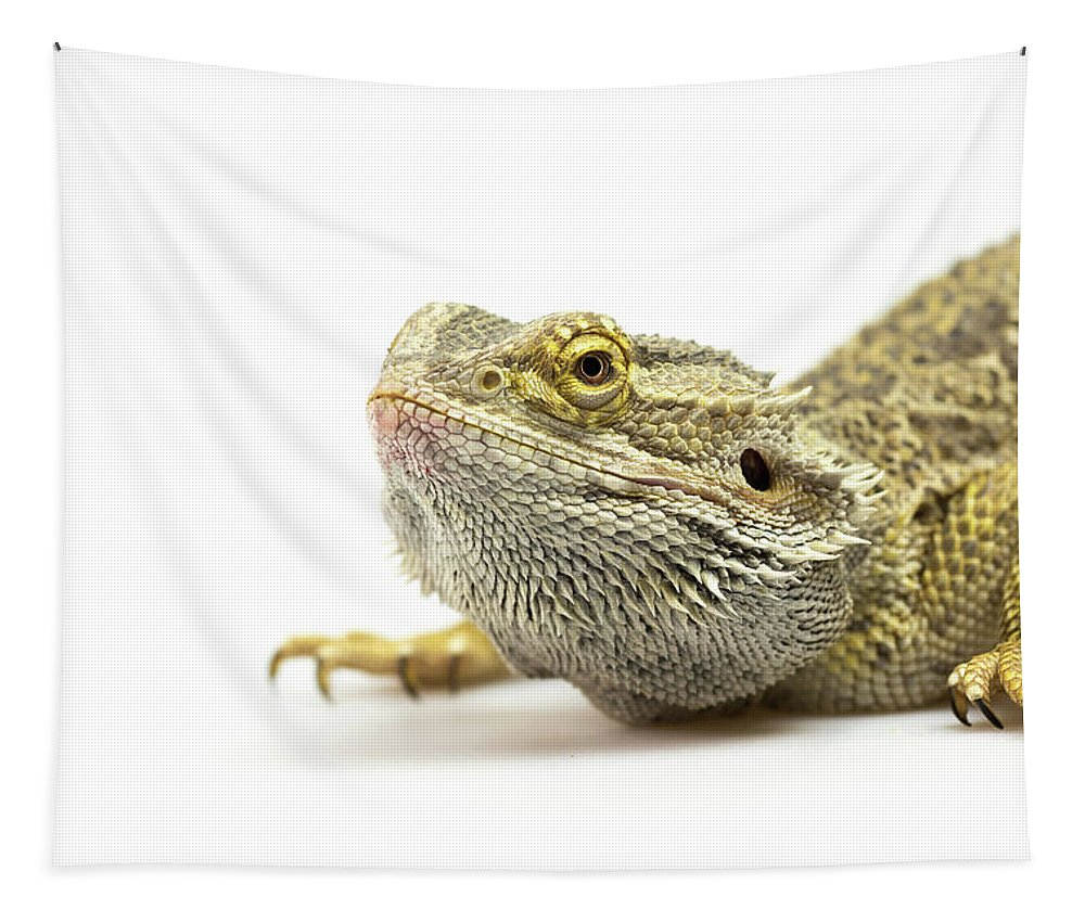 Lizard Tapestry featuring the photograph Agama Lizard Closeup by Jaroslav Frank