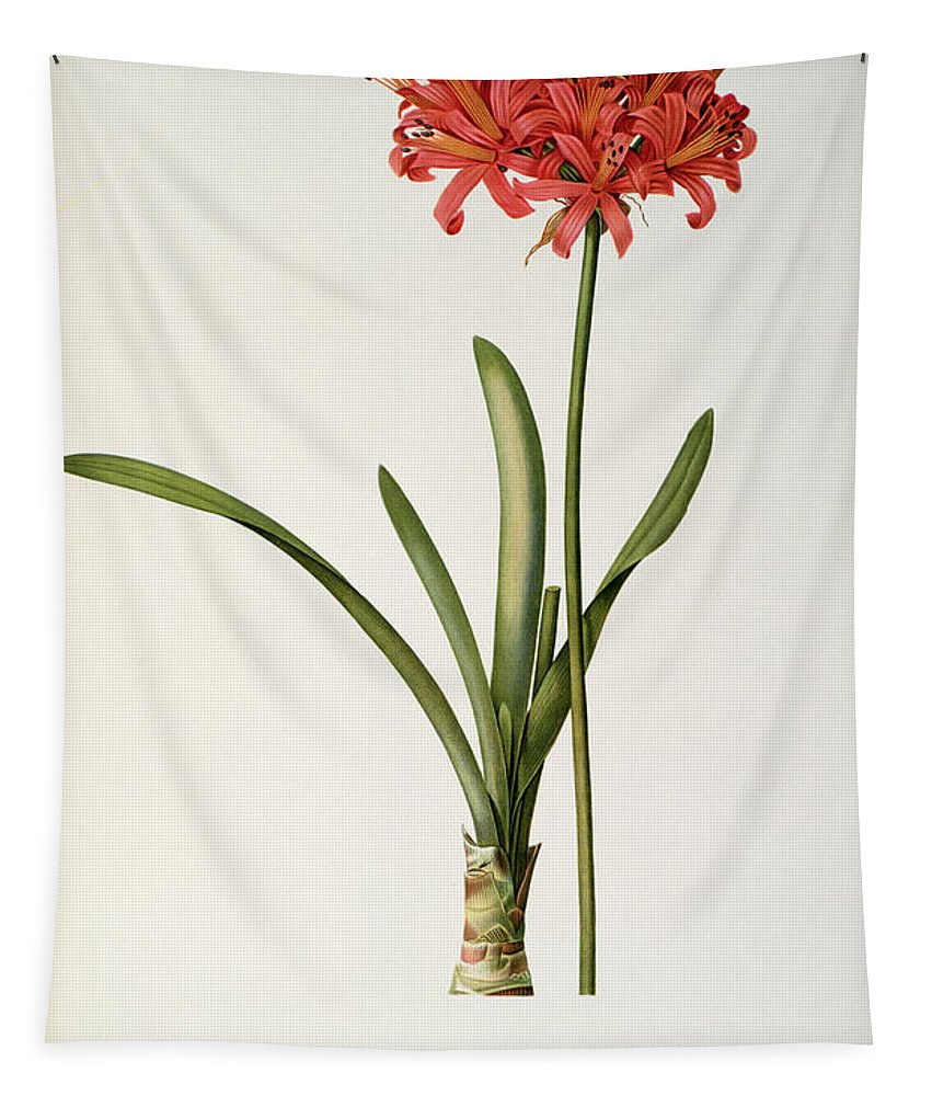 Amaryllis Tapestry featuring the drawing Amaryllis Curvifolia by Pierre Redoute