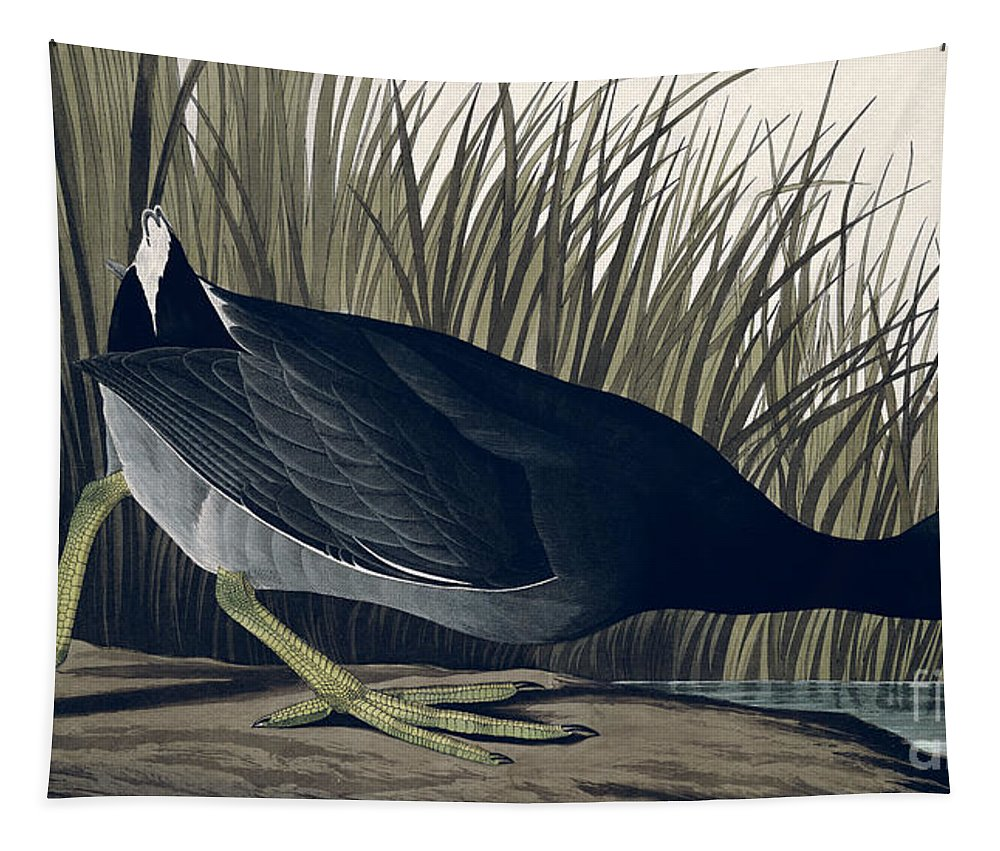 American Coot Tapestry featuring the painting American Coot by John James Audubon