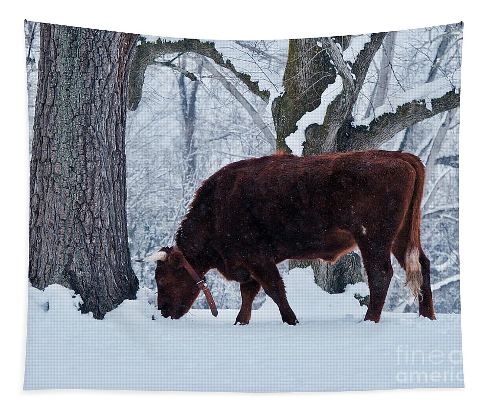 Cow Tapestry featuring the photograph American Devon Grazes In The Snow by Rachel Morrison