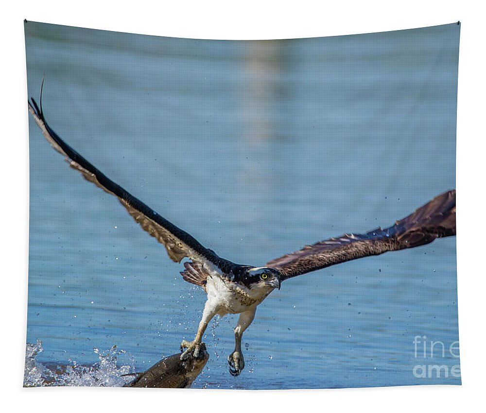 Osprey Tapestry featuring the photograph Animal - Bird - Osprey Catching A Fish by CJ Park