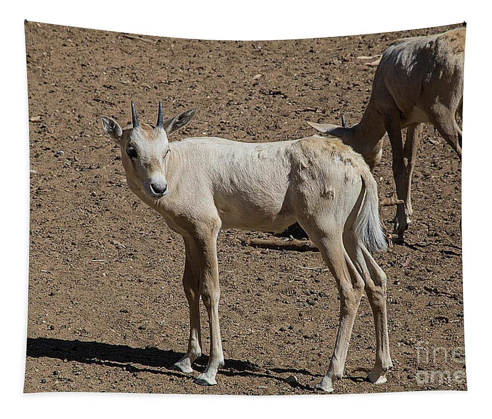 Arabian Oryx Tapestry featuring the photograph Arabian Oryx Baby by Elisabeth Lucas