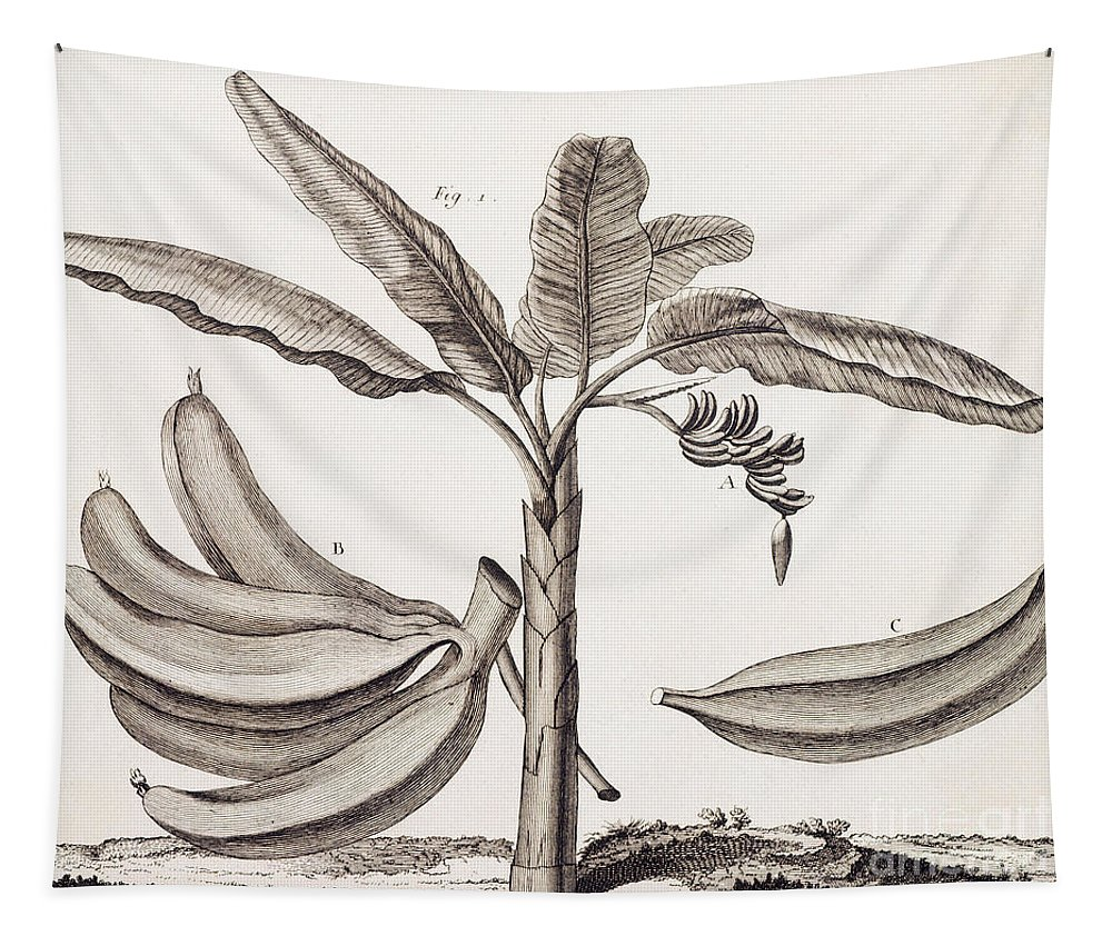 Banana Tapestry featuring the drawing Banana Tree by Denis Diderot