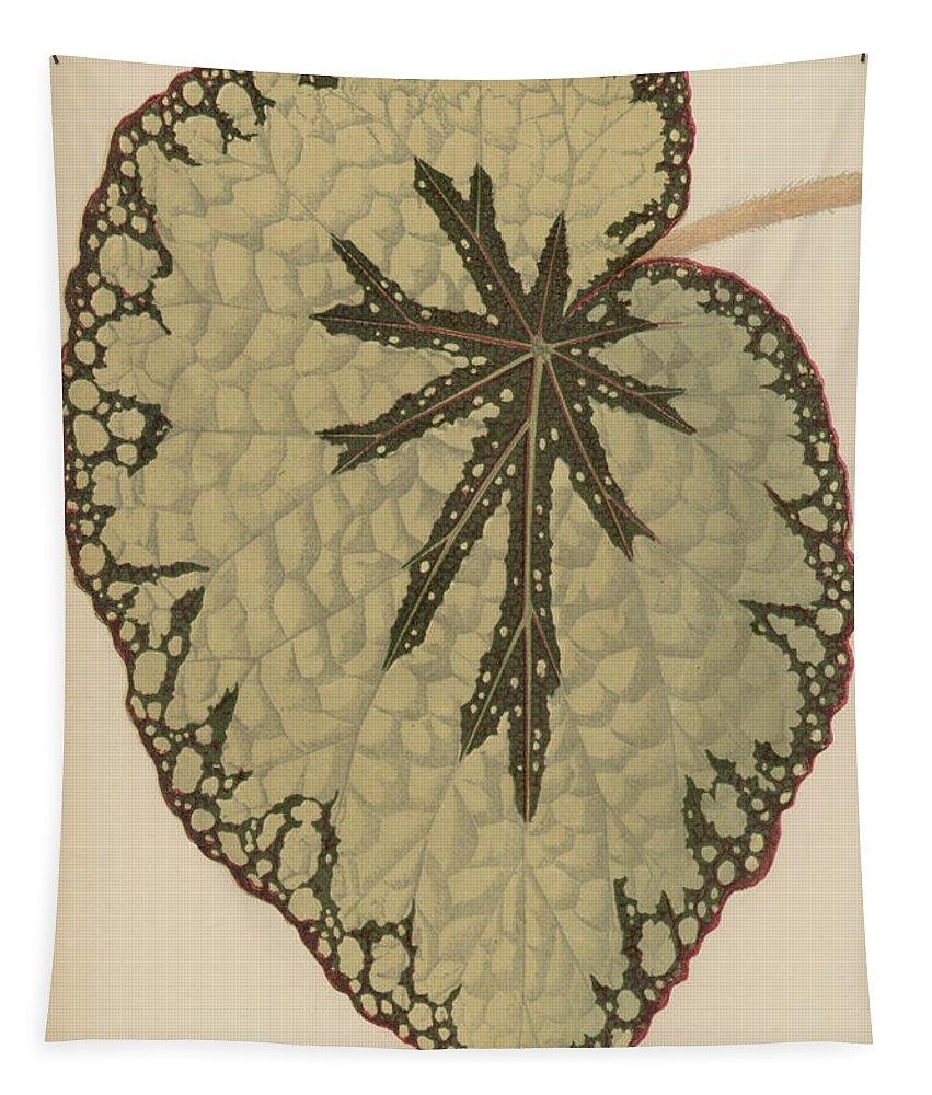 Rex Cultorum Tapestry featuring the painting Begonia Marshallii by English School