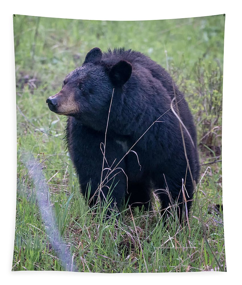 National Park Tapestry featuring the photograph Black Bear Yellowstone Np_grk7085_05222018 by Greg Kluempers