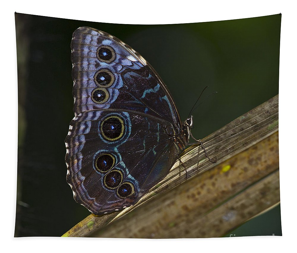 Festblues Tapestry featuring the photograph Blue Morpho.. by Nina Stavlund