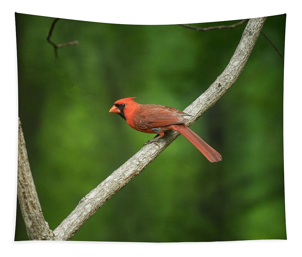 Poised Tapestry featuring the photograph Cardinal Posed To Fly by Douglas Barnett