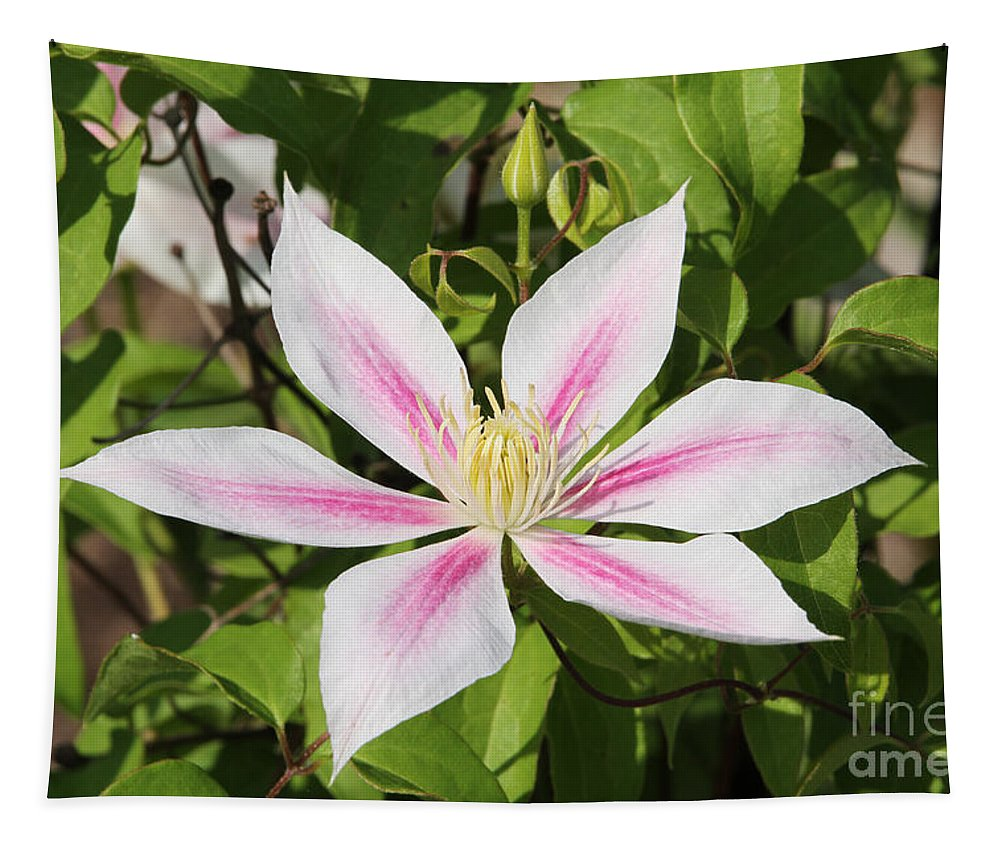 Clematis Tapestry featuring the photograph Clematis Andromeda by Judy Whitton
