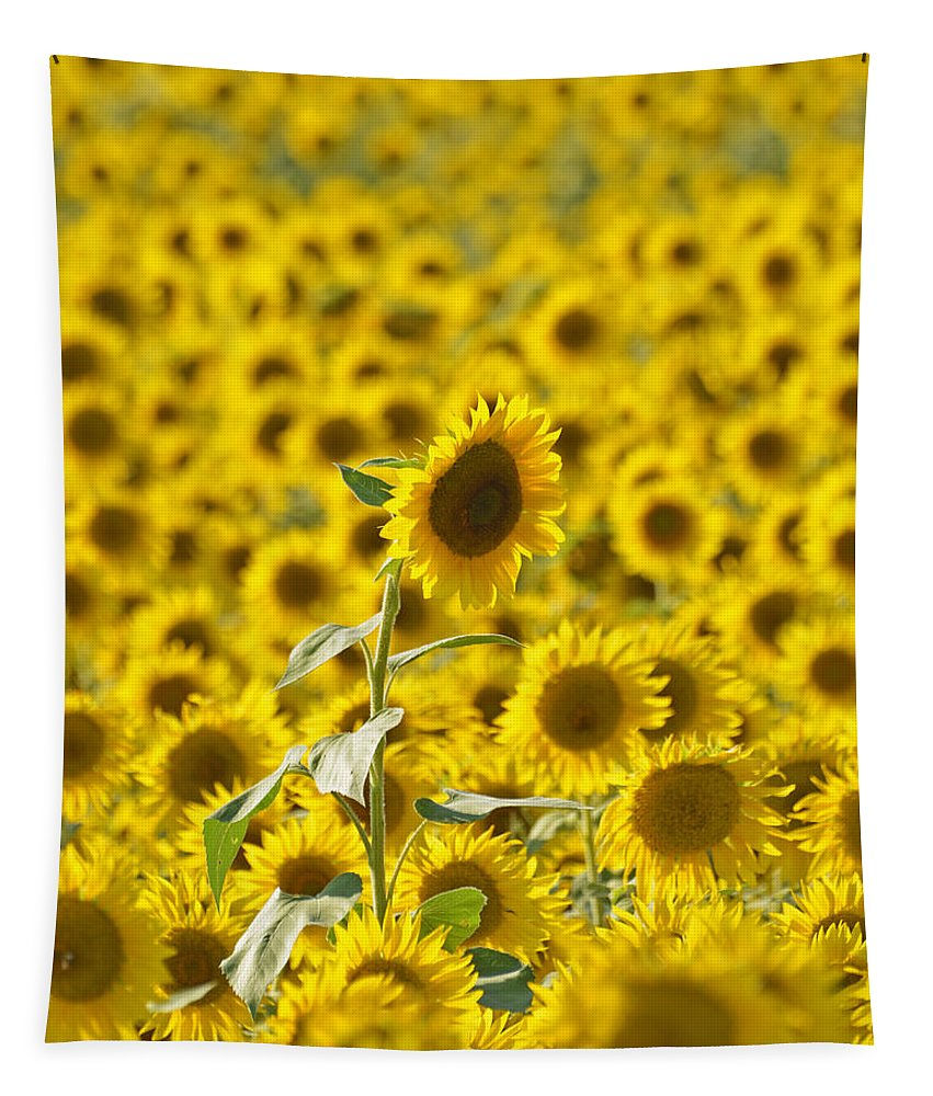 Newbury Tapestry featuring the photograph Colby Farms Sunflower Field Newbury Ma by Toby McGuire