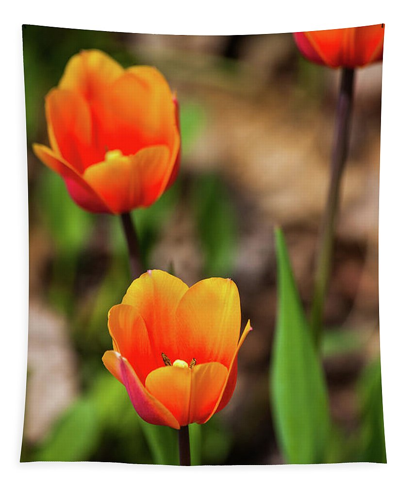 Springing Up Tulips Tapestry featuring the photograph Colorful Tulips by Karol Livote