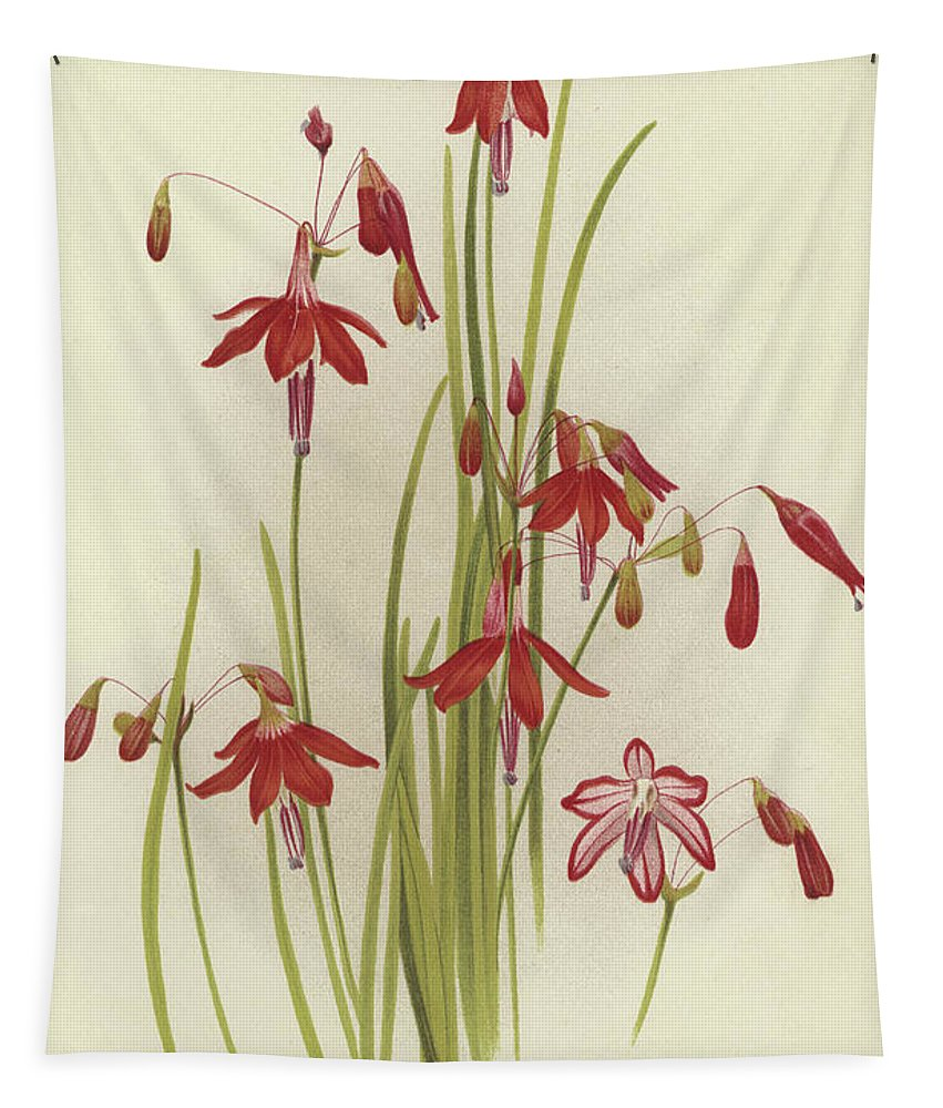 Coral Drops Tapestry featuring the painting Coral Drops Bessera Elegans by English School