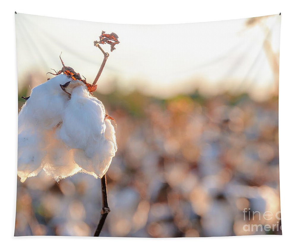 Fluffy Tapestry featuring the photograph Cotton Field 14 by Andrea Anderegg
