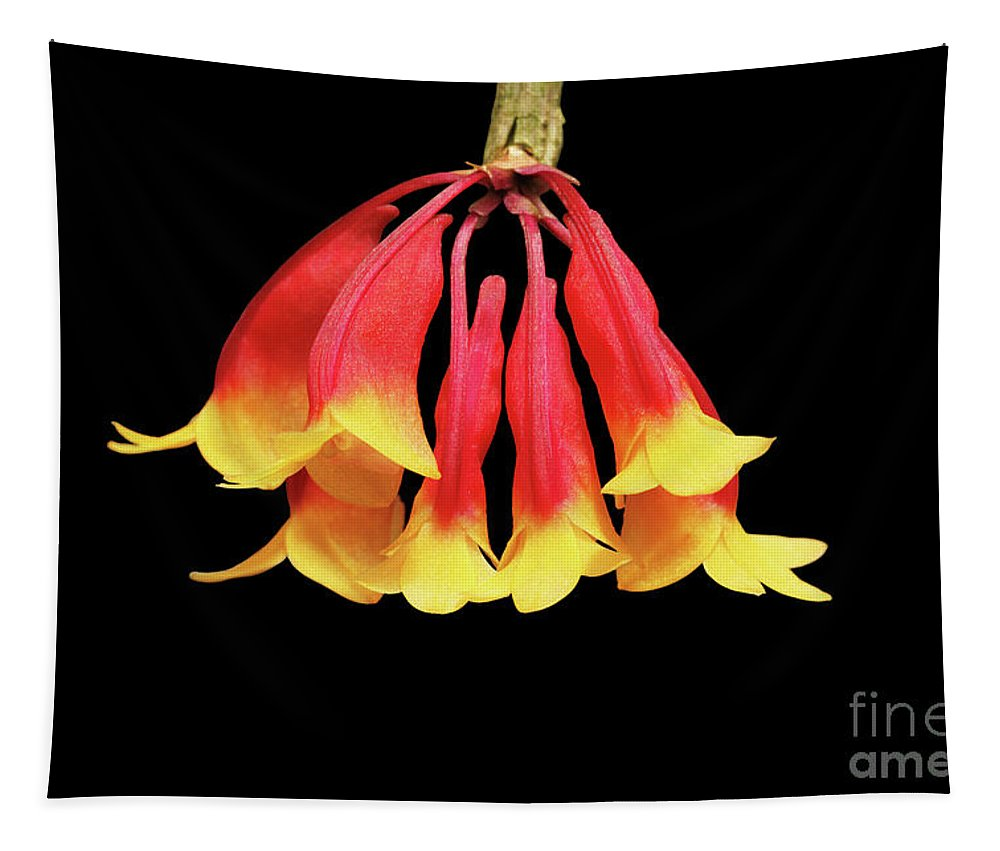 Orchid Tapestry featuring the photograph Dendrobium Lawesii by Judy Whitton