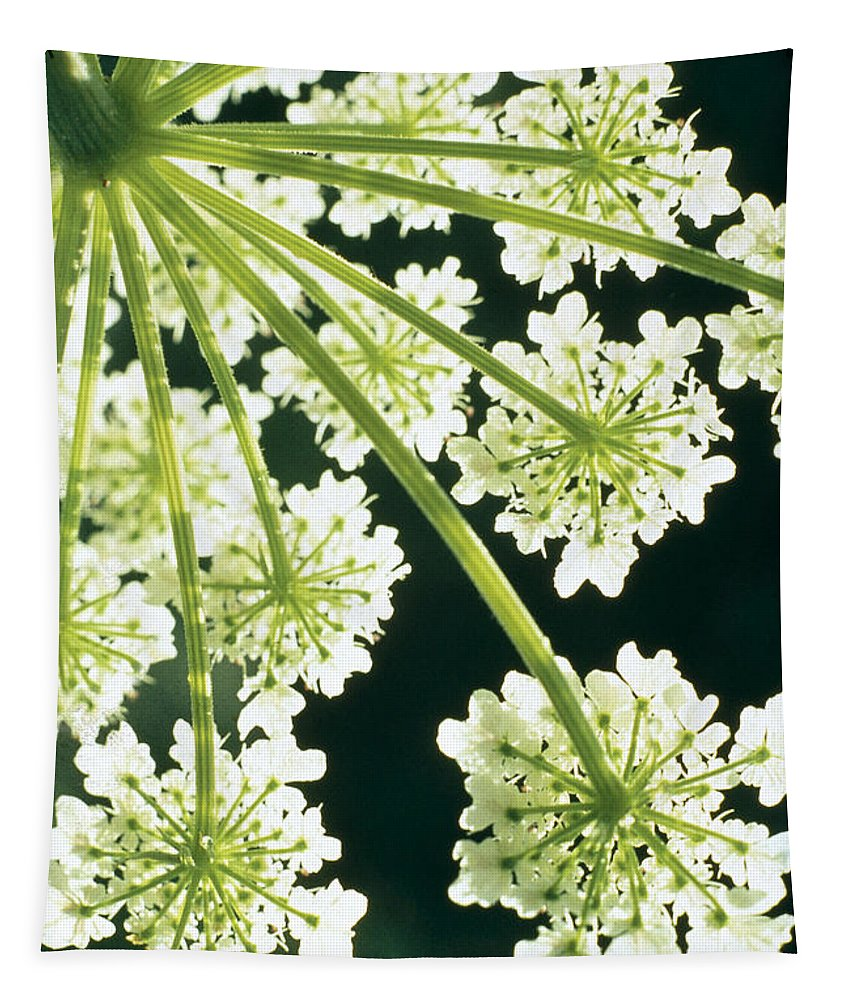 Flower Tapestry featuring the photograph Himalayan Hogweed Cowparsnip by American School