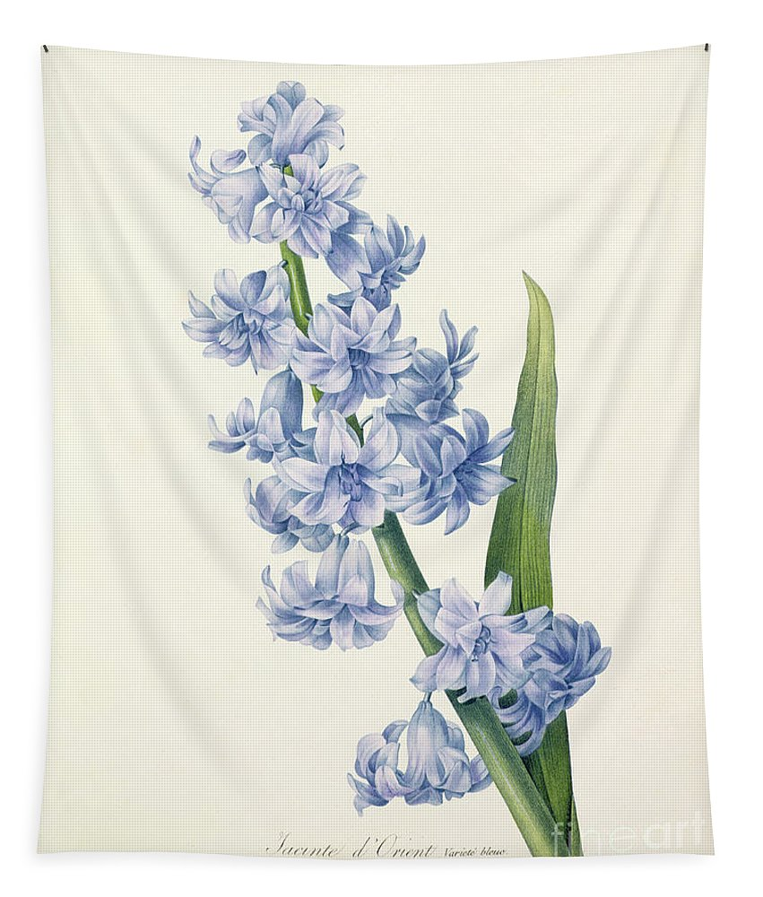 Hyacinthus Tapestry featuring the drawing Hyacinth by Pierre Joseph Redoute