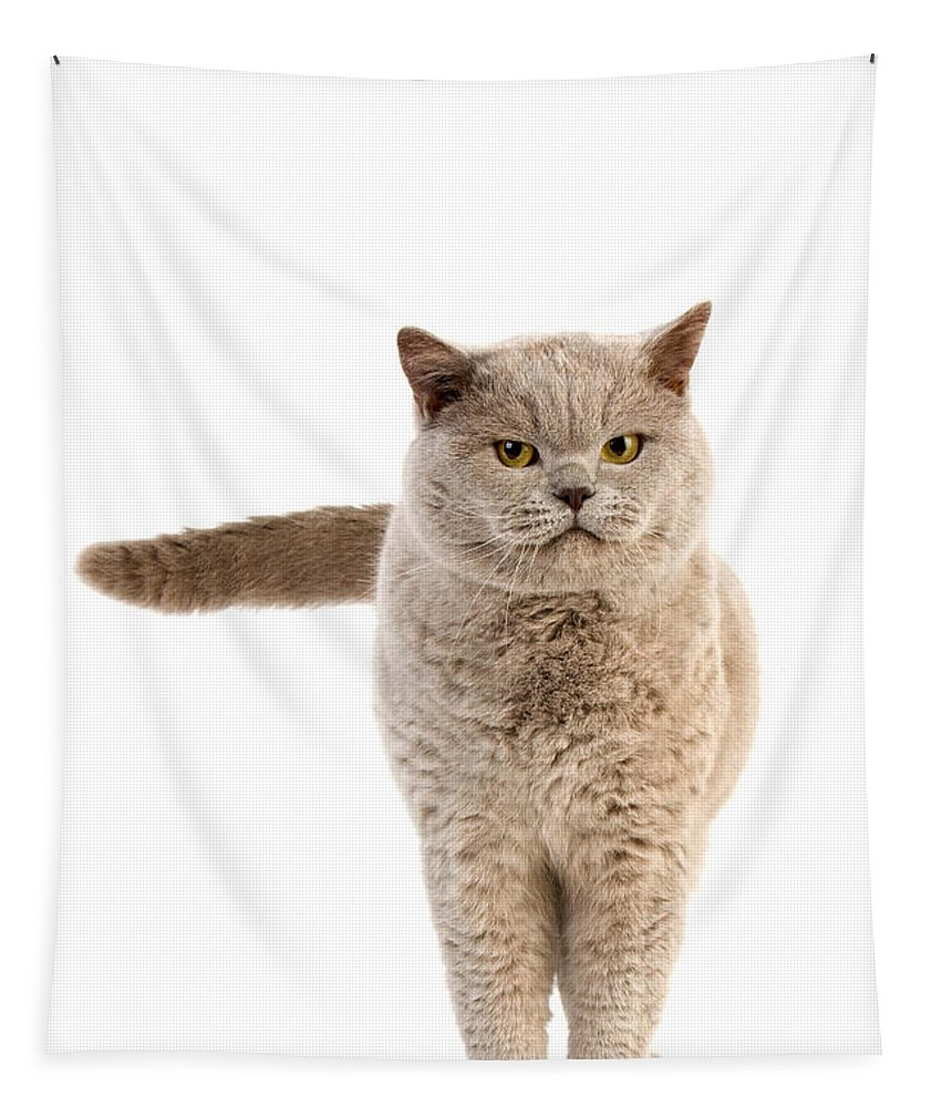 Lilac British Shorthair Cat Tapestry For Sale By Gerard Lacz