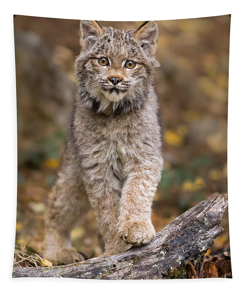 Animal Tapestry featuring the photograph Lynx Kit by Jerry Fornarotto